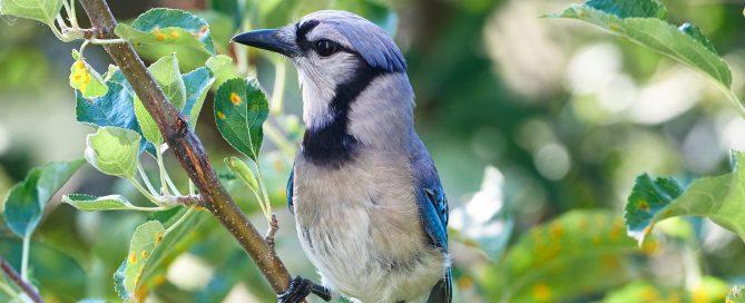 Backyard bird watching - Bluejay in a tree looking pensive