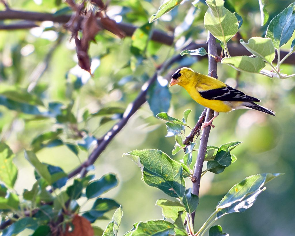 Goldfinches on a nyjer tube feeder