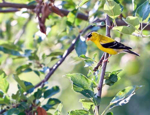 Gold Medal – How to Attract Goldfinches