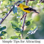 Male American Goldfinch perched on a tree branch