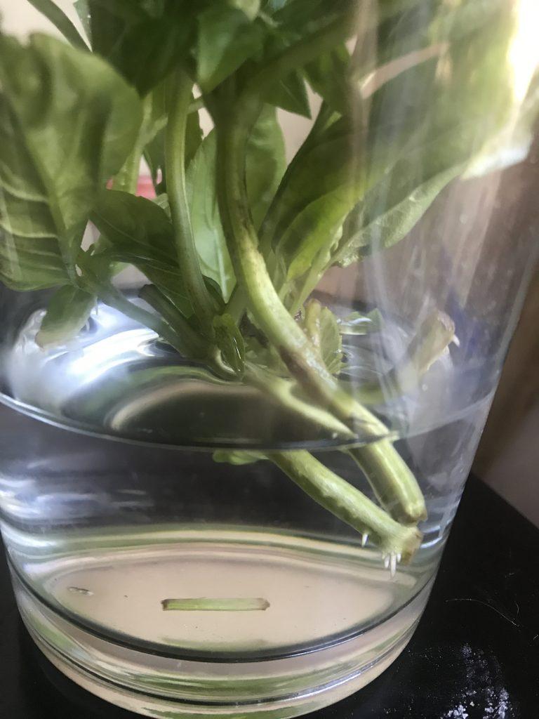 basil cutting in water