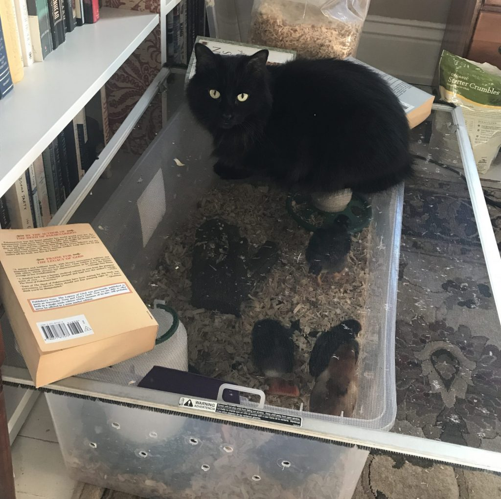 fluffy black cat laying on the chicken brooder