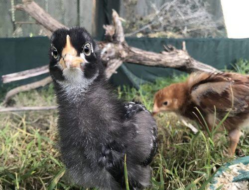 Raising Backyard Chickens – Weeks 3 & 4