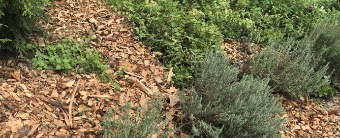 Three thyme plants