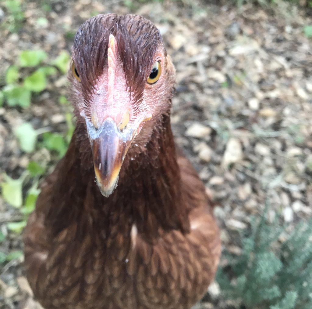 What I should have known about chickens
