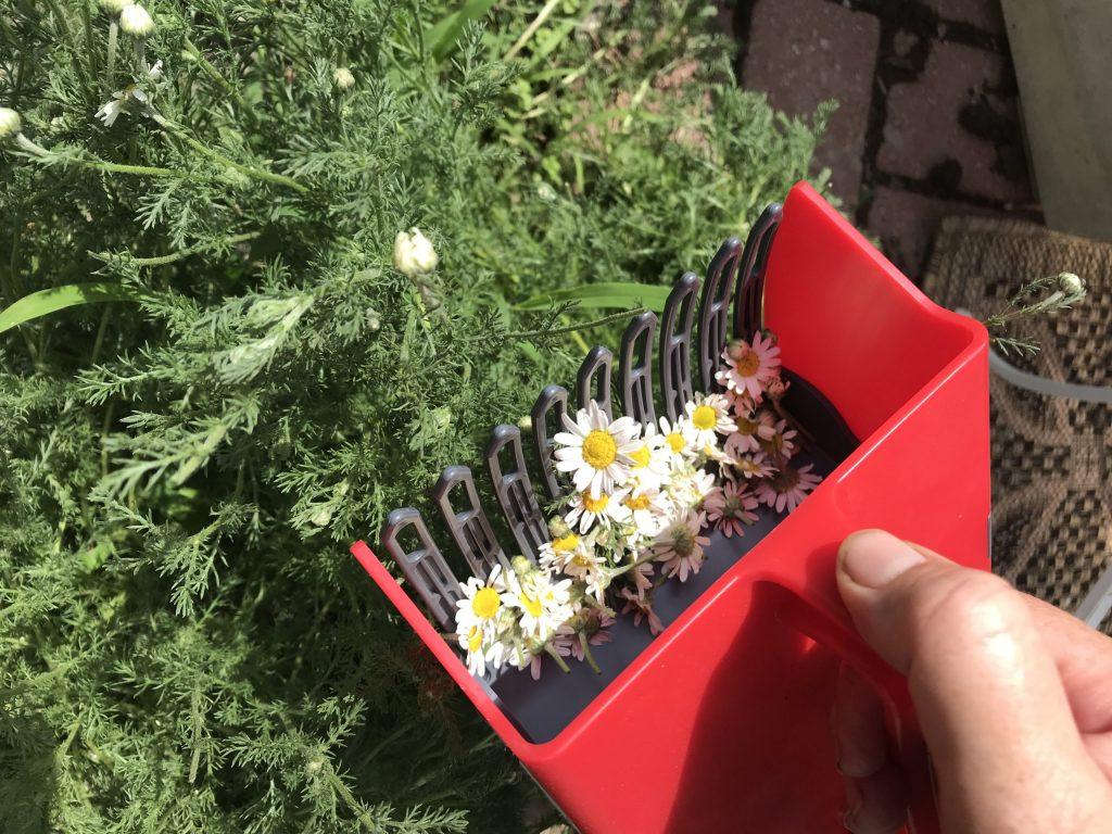 harvesting chamomile with a harvesting rake